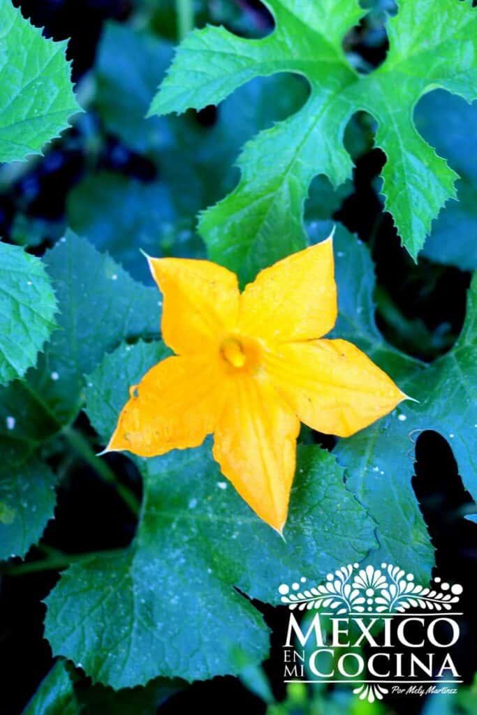 flores de calabaza macho